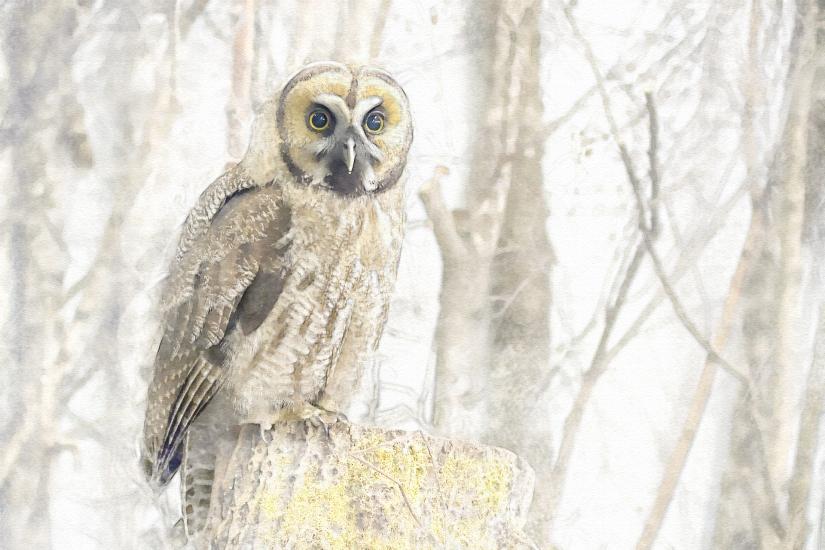 edit great-grey-owl-hybrid-3016287_1920